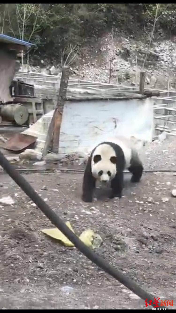 九寨沟野生大熊猫进村